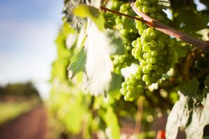 californisk chardonnay